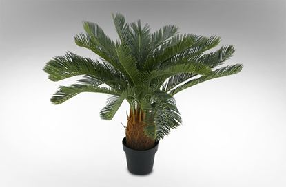 Picture of Cycad 90cm