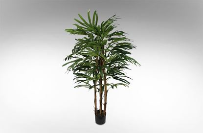 Picture of Rhapis Palm 140cm
