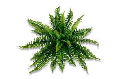 Picture of LGE Boston Fern