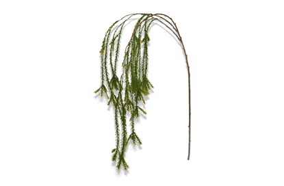 Picture of Pine Branch