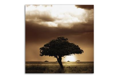 Picture of Acacia