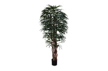 Picture of Rhapis Palm 200cm
