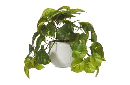 Picture of Potted Pothos