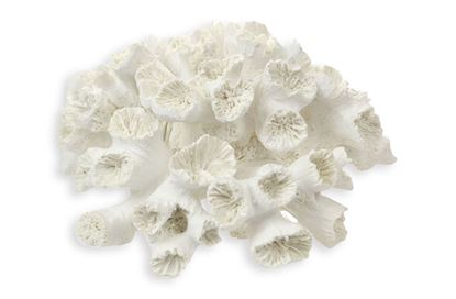 Picture of White Coral
