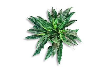 Picture of Boston Fern 70cm