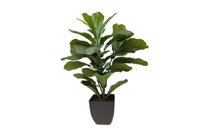 Picture of Fiddle Leaf 60cm