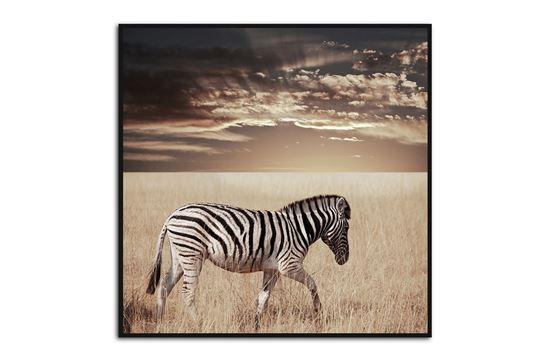 Picture of Zebra Sunset 80 x 80 B/F